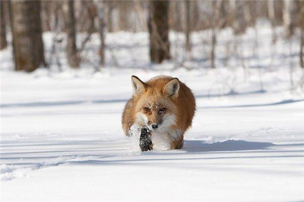 На Волині почали рахувати диких тварин