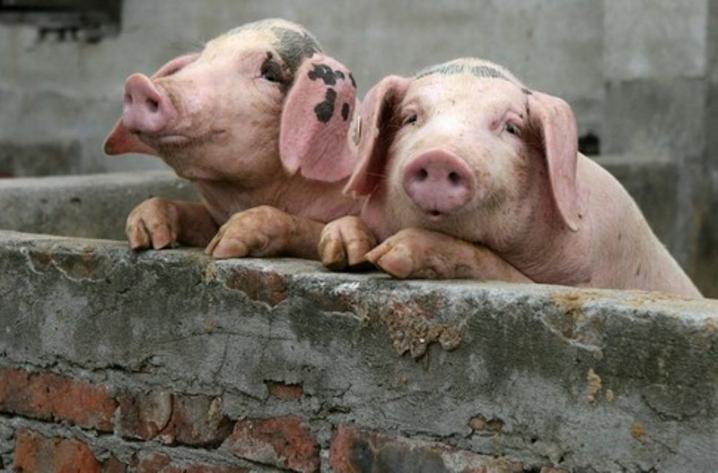 На Буковині у селі через спалах африканської чуми спалили понад сотню свиней