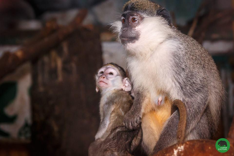 У зелених мавпочок із Луцького зоопарку чергове поповнення. ФОТО
