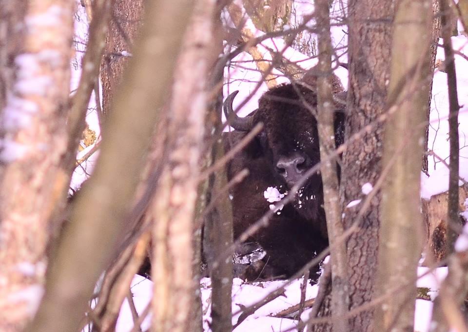 Волинські лісівники спостерігають за травмованим зубром