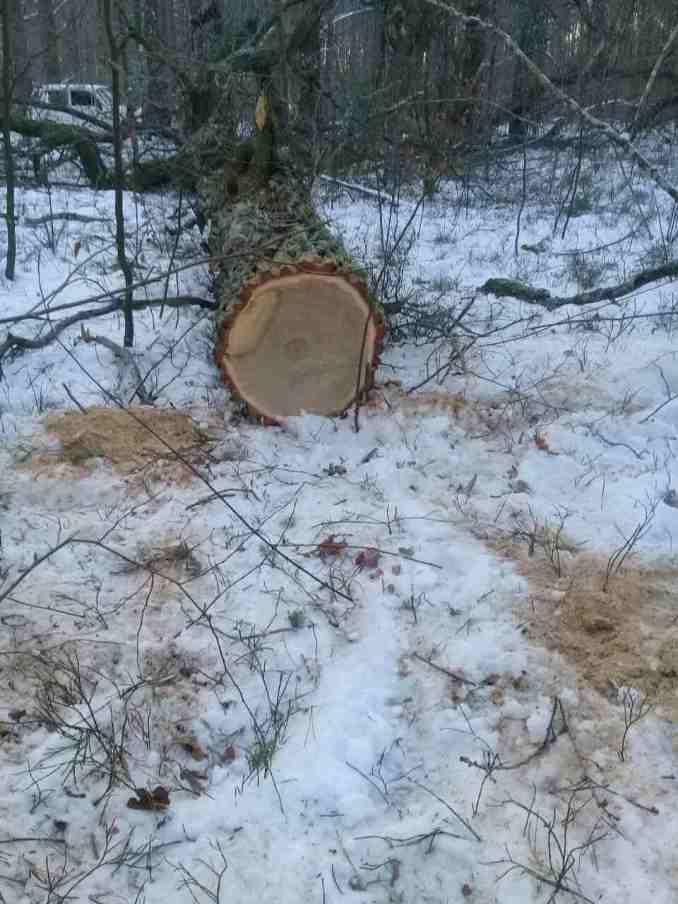 На Волині впіймали крадіїв дубів
