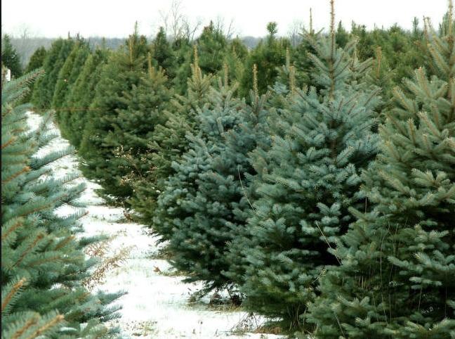 У передсвятковий період на Волині реалізували понад 80 тисяч хвойних дерев