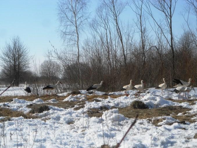 На Волині лісівники підгодовують лелек. ФОТО