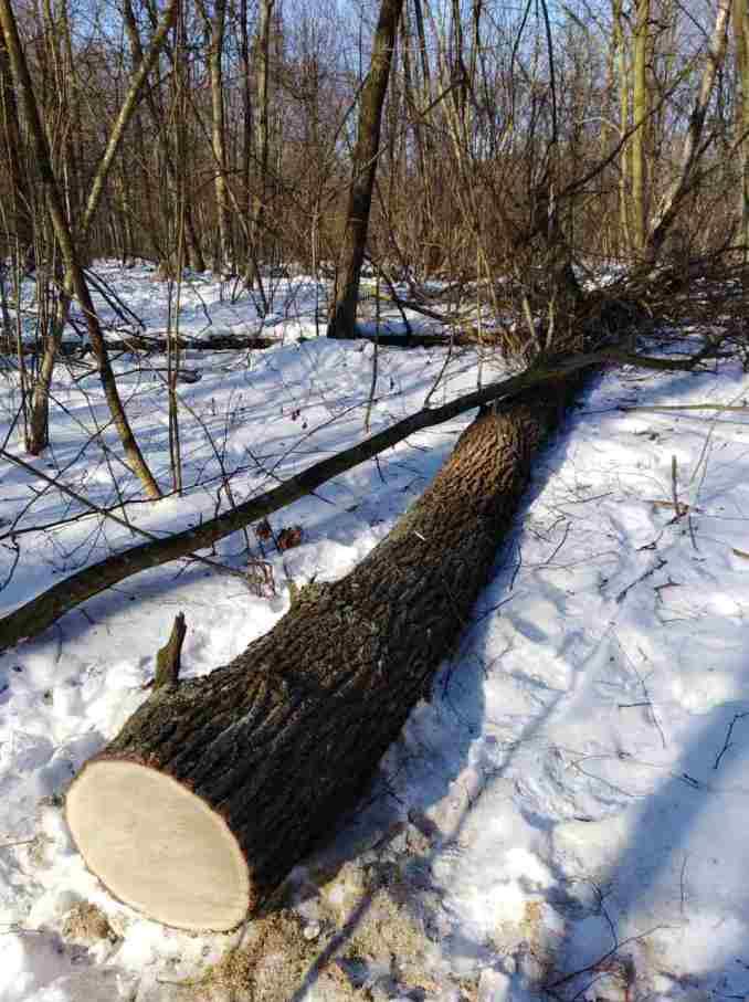На Волині затримали крадіїв дубів. ФОТО