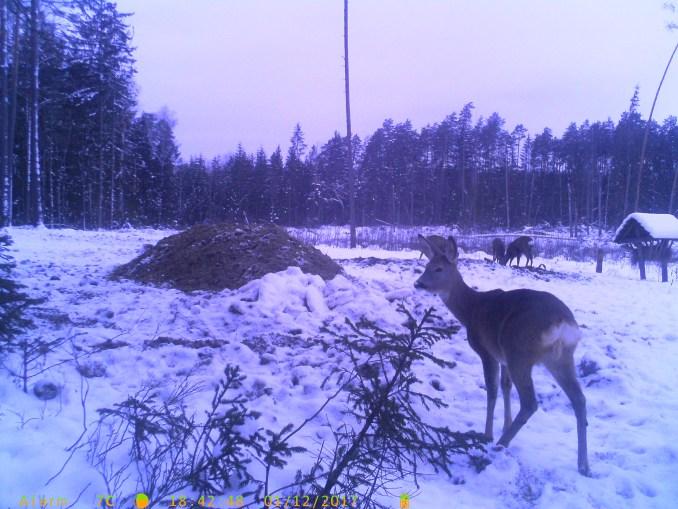 На Волині звички та потреби диких тварин вивчають із допомогою камер відеоспостереження. ФОТО