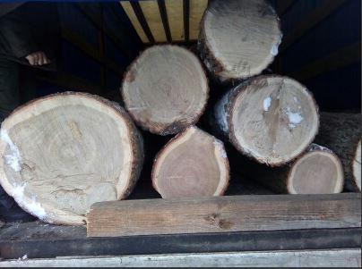 Волинські лісівники виявили крадіжку дубів. ФОТО