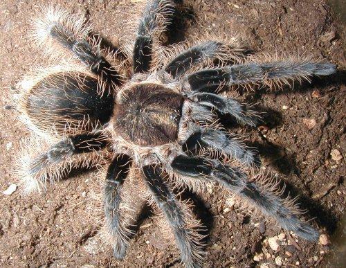 В Австралії знайшли найстарішого в світі павука