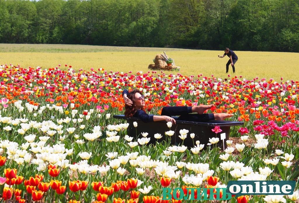 «Волинська Голландія» – поблизу Луцька квітує мільйон тюльпанів. ФОТО