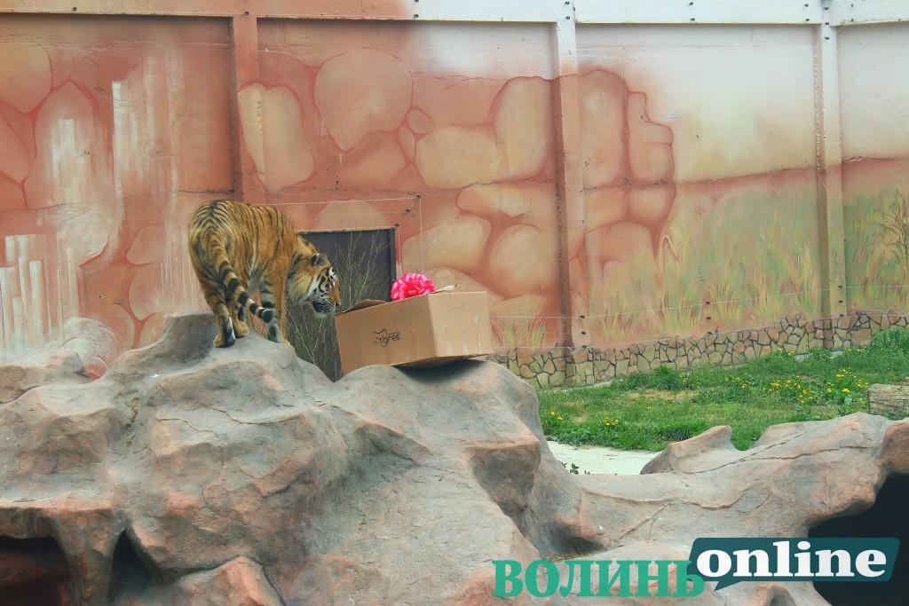 У Луцькому зоопарку святкують день народження тигрів. ФОТОРЕПОРТАЖ
