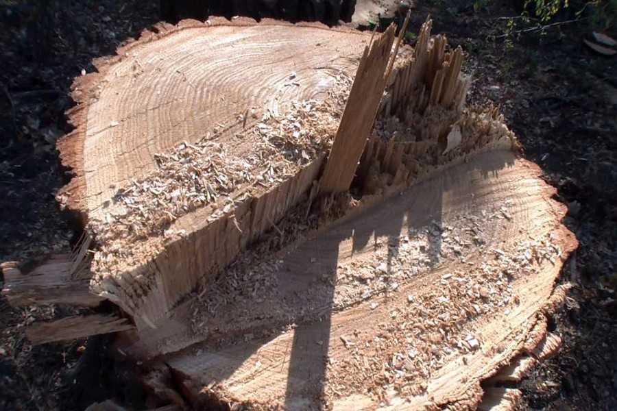 На Волині виявили самовільну рубку дубів