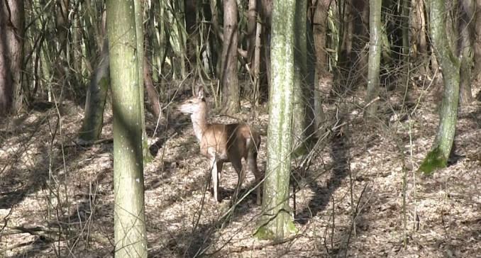 У Воротнівському лісництві оселилися олені благородні. ФОТО