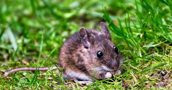 Біологам вдалося «вимкнути» страх у мозку мишей