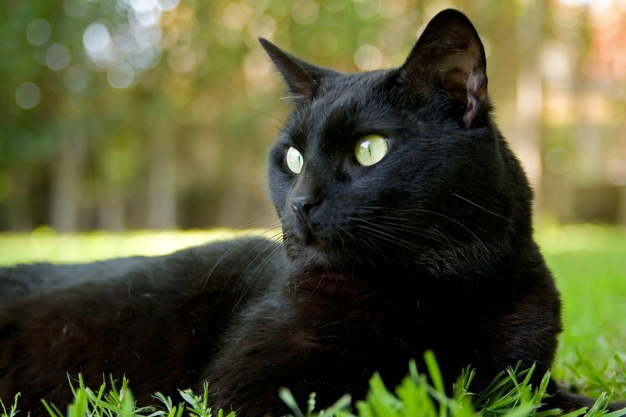 У Луцьку буде парад чорних котів