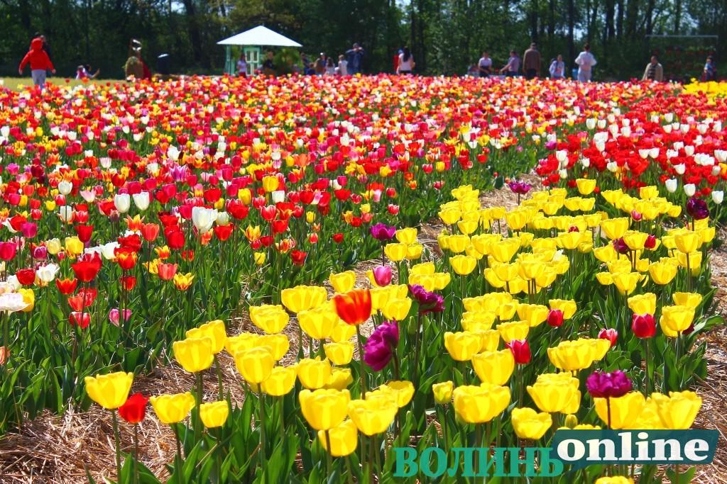 На Волині вирощують тюльпани, переймаючи досвід Нідерландів