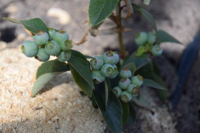 На Маневиччині лісівники вирощують лохину. ФОТО