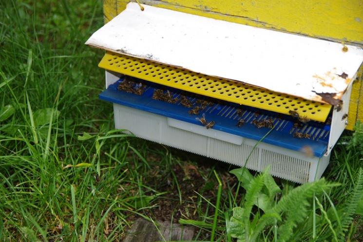 Держспоживслужба повідомила причини загибелі бджіл на Волині