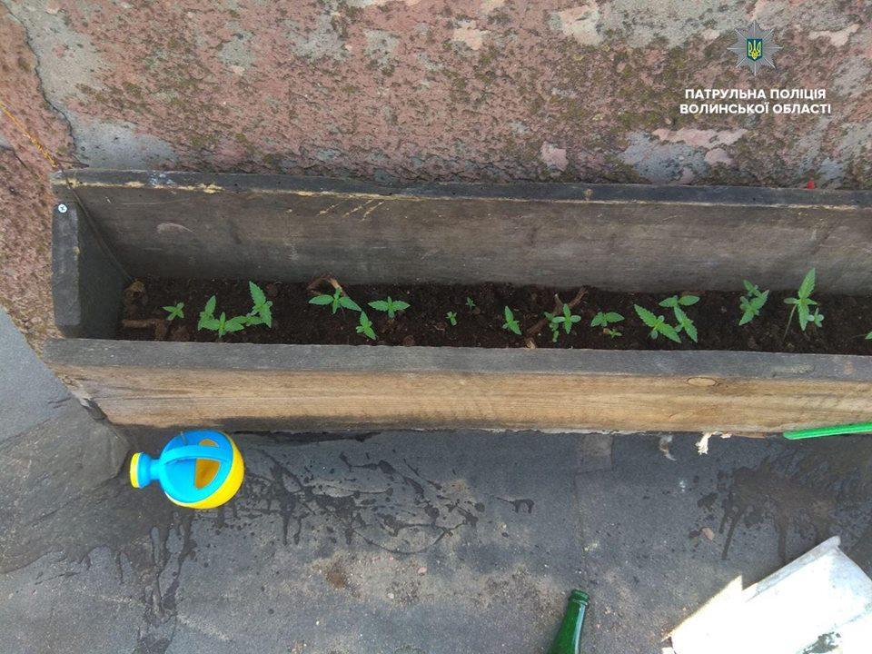 У Луцьку двоє чоловіків вирощували канабіс на даху багатоповерхівки. ФОТО