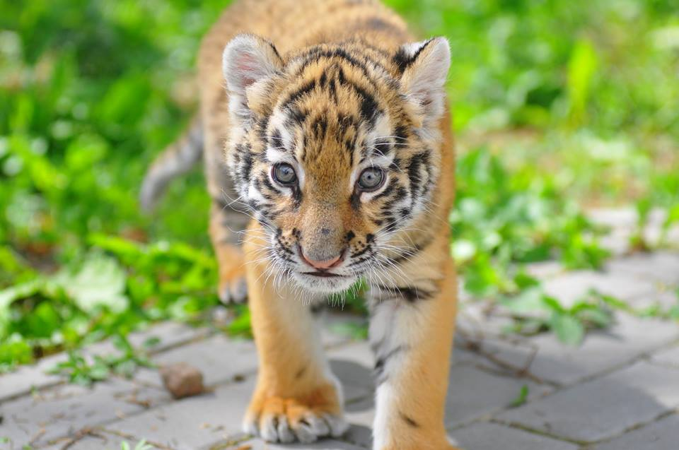 У Луцькому зоопарку виходили маленьке тигренятко. ФОТО