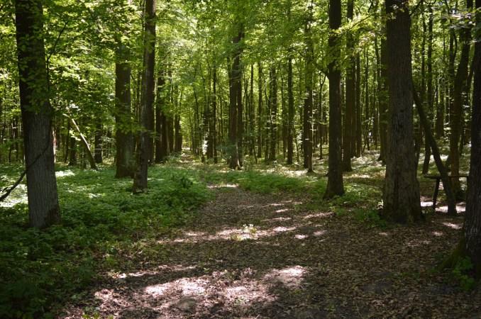На Горохівщині ростуть червоні дуби, посаджені  польською графинею. ФОТО