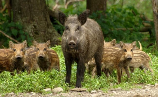 На Волині відстрілюватимуть диких кабанів через випадки захворювання африканською чумою