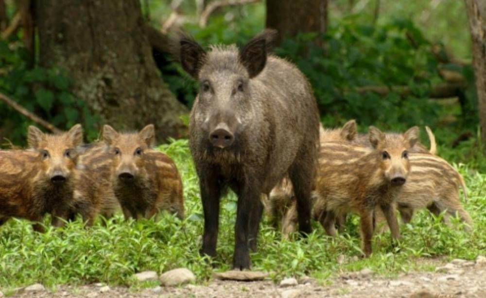 На Волині відстрілють диких свиней