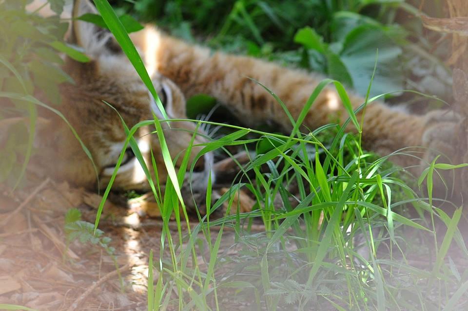 У Луцькому зоопарку оселилася самка рисі. ФОТО