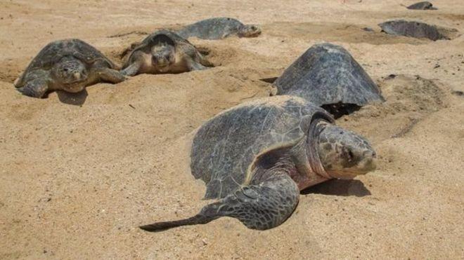У Мексиці знайшли мертвими сотні рідкісних морських черепах