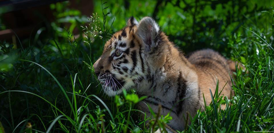 Показали нові фото тигрички із Луцького зоопарку. ФОТО