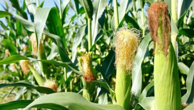 Україні очікують рекордний урожай кукурудзи