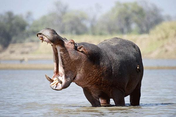 У Кенії внаслідок укусу бегемота загинув турист
