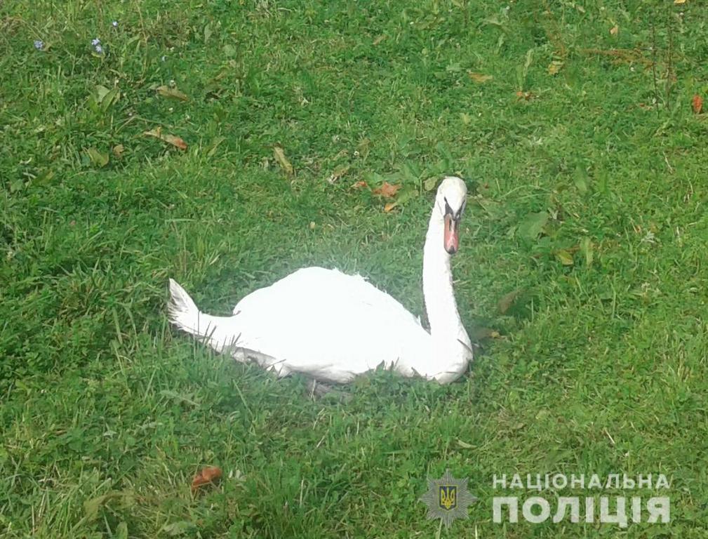 Волинський поліцейський врятував лебедя