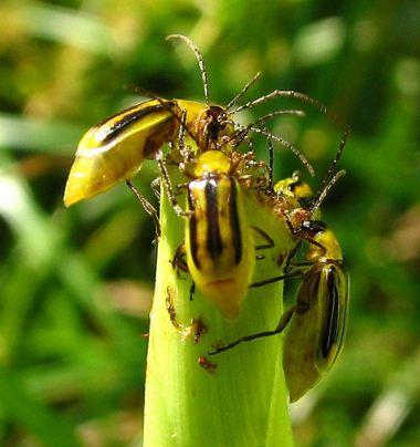 На Волині виявили шкідника, що знищує кукурудзу