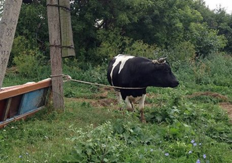 У Горохівському районі поліцейські викрили крадія худоби