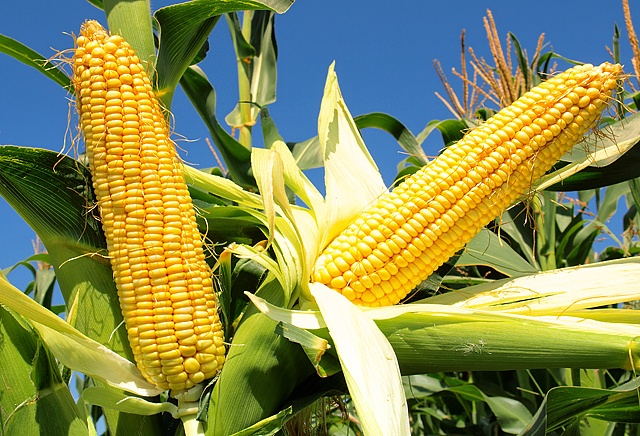 Україна може зібрати рекордний врожай кукурудзи
