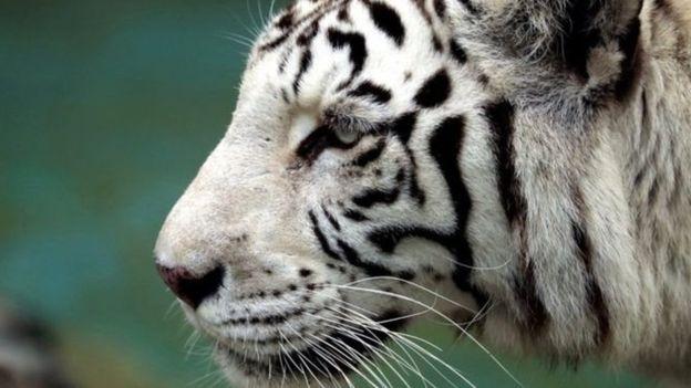 Рідкісний білий тигр загриз працівника зоопарку в Японії