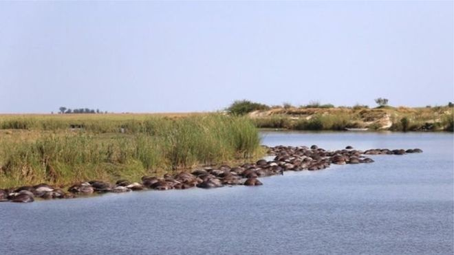 У Ботсвані сотні буйволів потонули, тікаючи від левів
