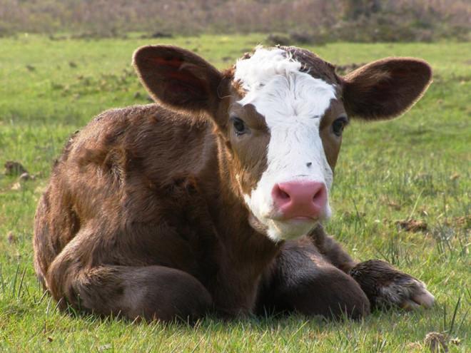 Волинські селяни можуть отримати дотації за утримання корів та молодняку