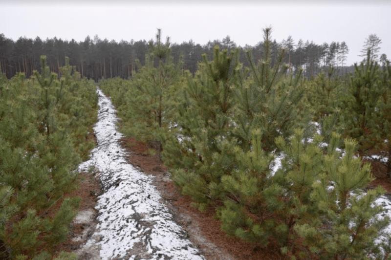 Як на Маневиччині вирощують новорічні ялинки