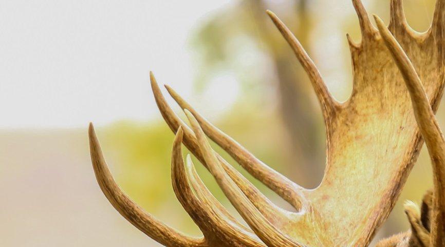 На Волині браконьєрам, які вбили двох лосів, повідомили про підозру