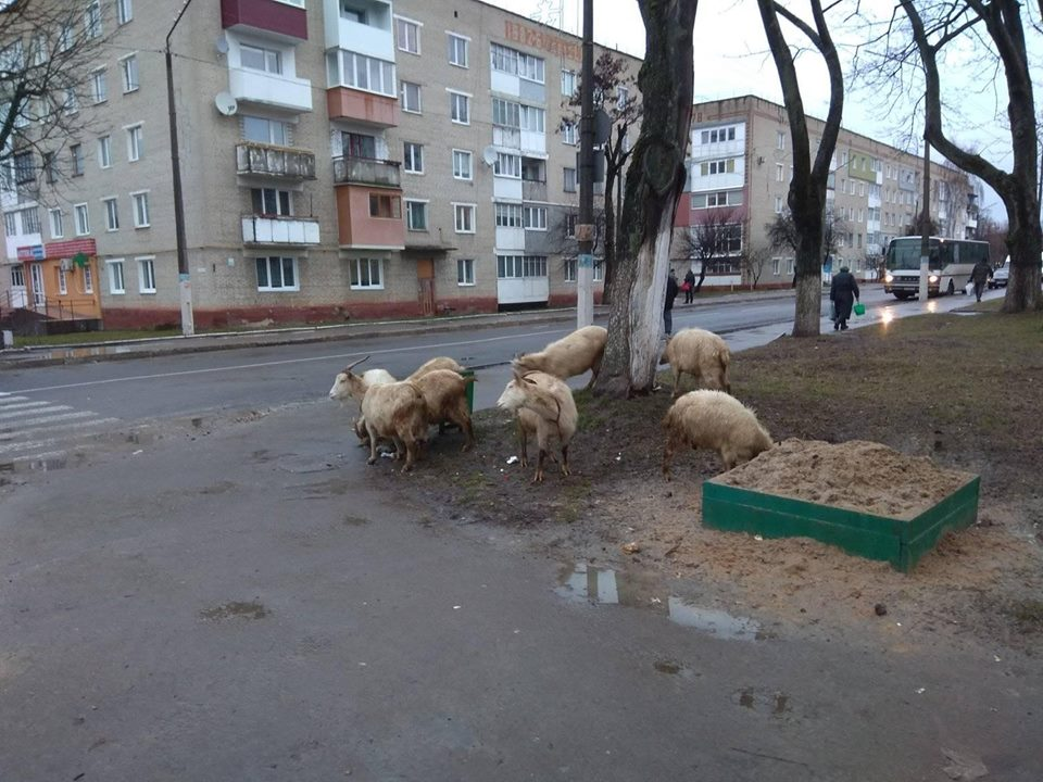 На Волині посеред міста бігало стадо кіз. ФОТОФАКТ