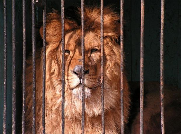 У зоопарку США лев на смерть поранив дівчину