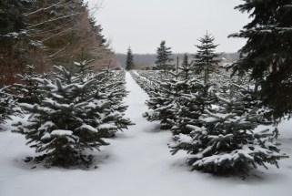 Волинські новорічні деревця – найбільш затребувані в Україні