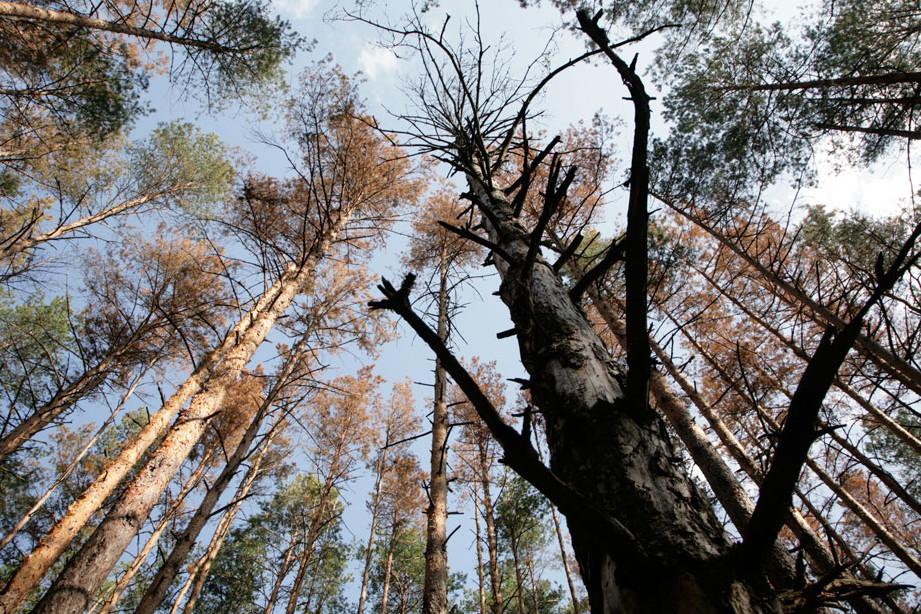 Зменшилися масштаби всихання соснових лісів на Волині