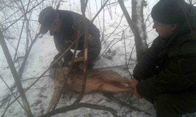 Волинські лісівники врятували козулю, витягнувши з браконьєрської петлі. ФОТО