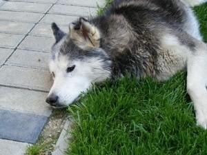 На Волині люди звинувачують селищну владу в масовому отруєнні бездомних собак. ВІДЕО