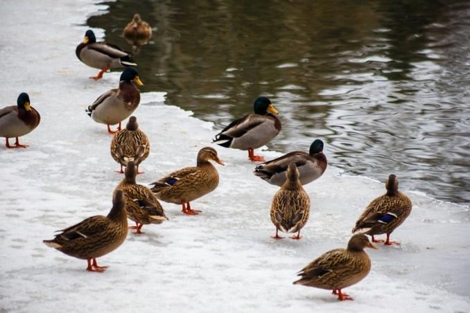Показали, як у Воротневі зимують качки. ФОТО