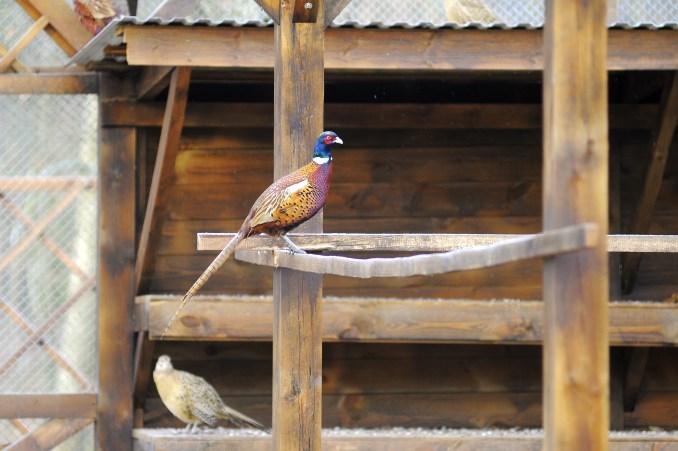 На Волині лісівники розводять фазанів. ФОТО