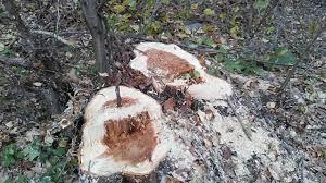 На Волині виявили самовільну порубку деревини