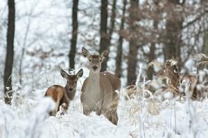 На Волині триває зимовий облік мисливських тварин