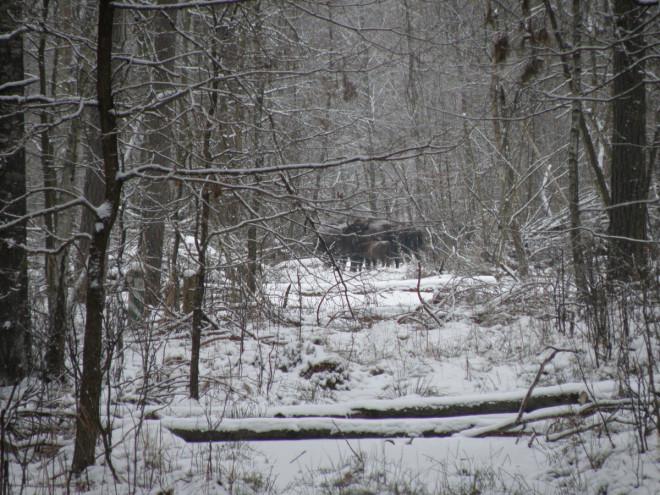 На Волині провели зимовий облік червонокнижних видів тварин
